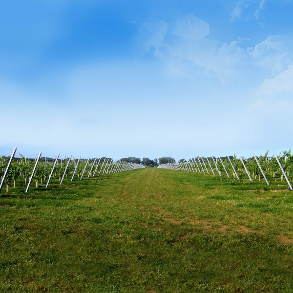 Vineyard with rows of anchored posts